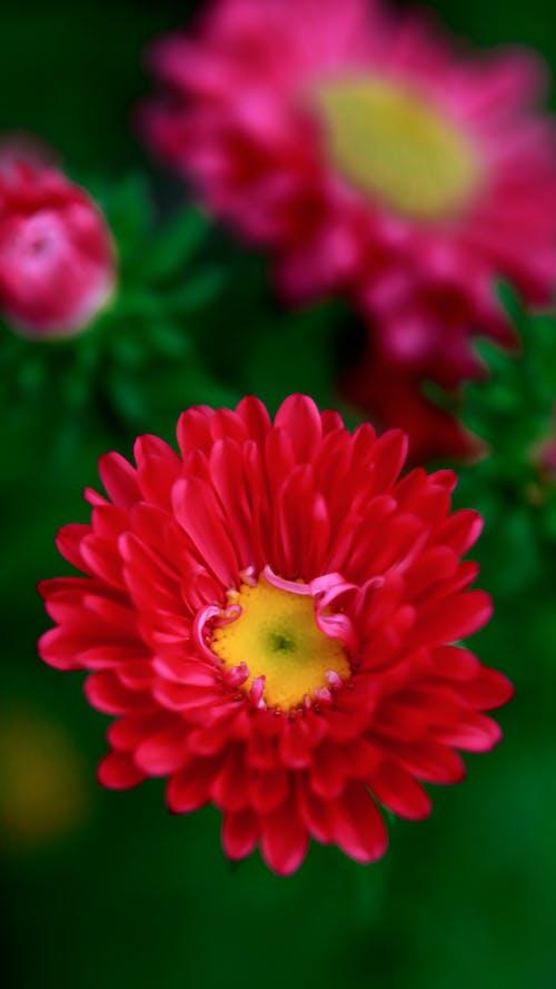 คลังภาพถ่ายฟรี ของ กำลังบาน, ขาว, ช่อดอกไม้, ดอกเดซี