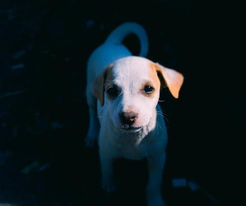 Ingyenes stockfotó állat, amerikai pit bull terrier, aranyos, barna témában
