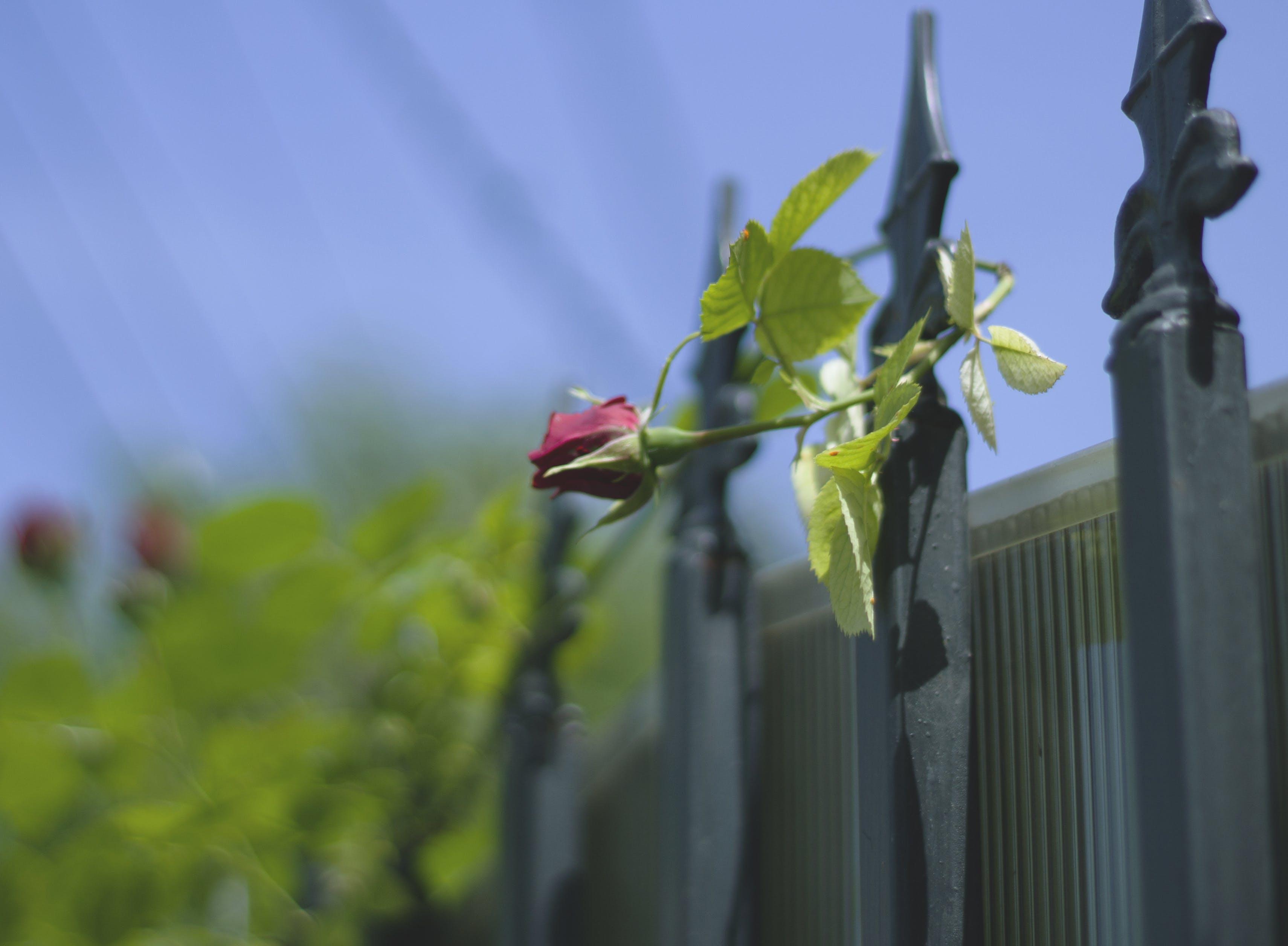 Foto d'estoc gratuïta de flor, flora, practicar esgrima, rosa