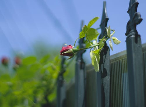 Free stock photo of fence, flora, flower, Red Rose