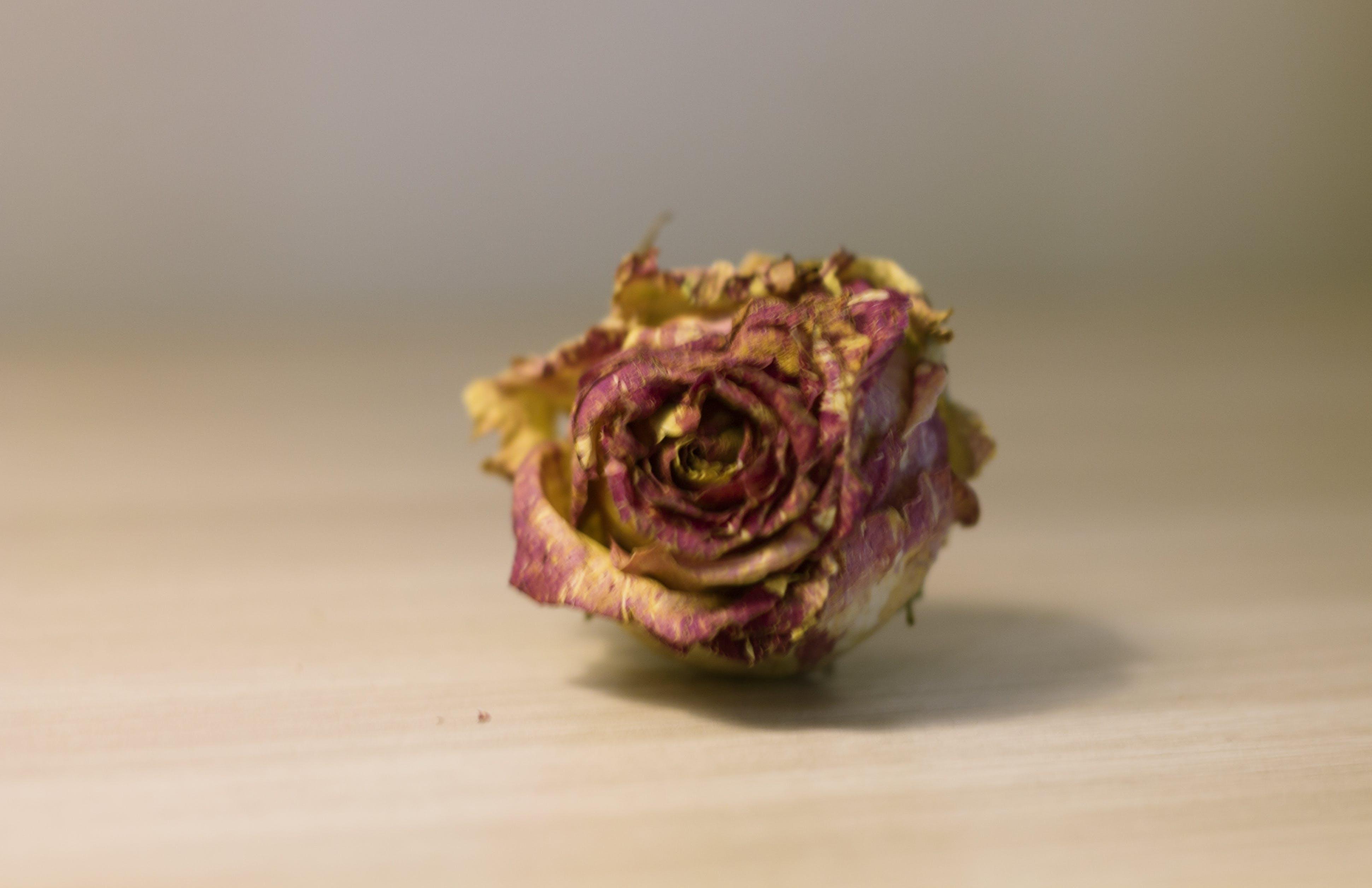 Foto d'estoc gratuïta de flor, objecte, rosa seca, sec