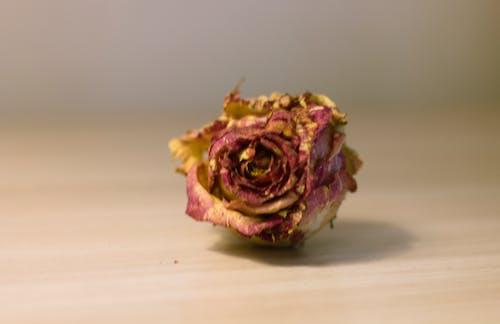 Free stock photo of dry, dry rose, flower, love symbol