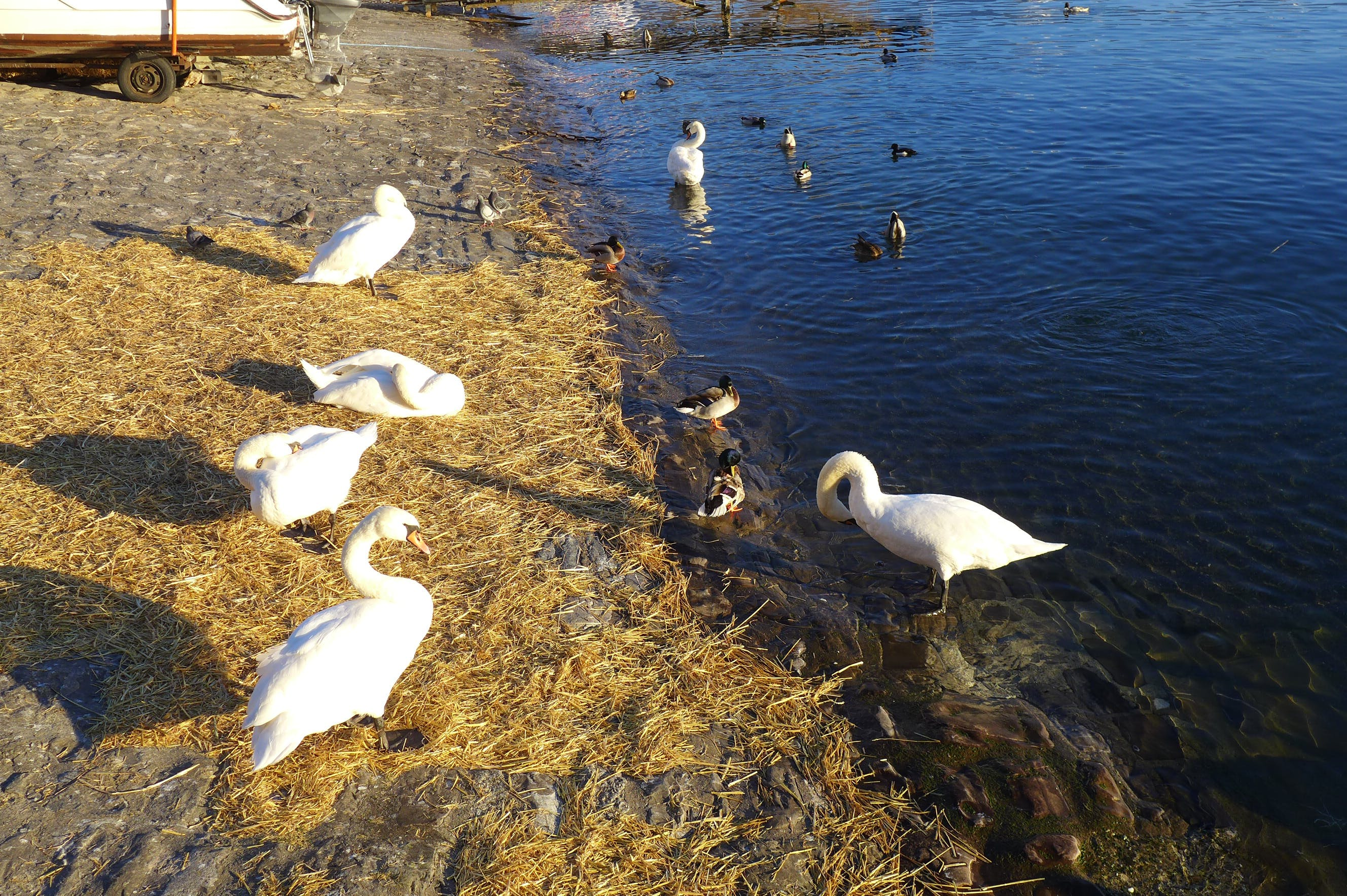 Free stock photo of swan lake
