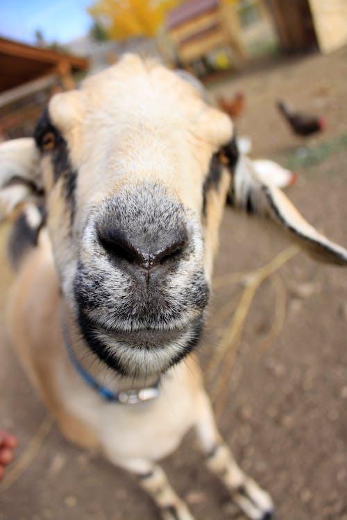 Gratis lagerfoto af gård, ged, geder, husdyr