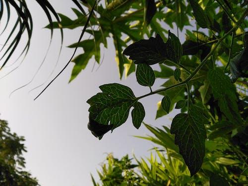 常綠, 桌面背景, 深綠色的植物, 綠葉 的 免费素材照片