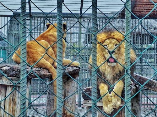 "Foto stok gratis ""> # aslan # #aslanlar afrika # kral # hayvanat bah, # lionking # suka suka liar, <font style = ""vertical-align: devralır, <html> "">"