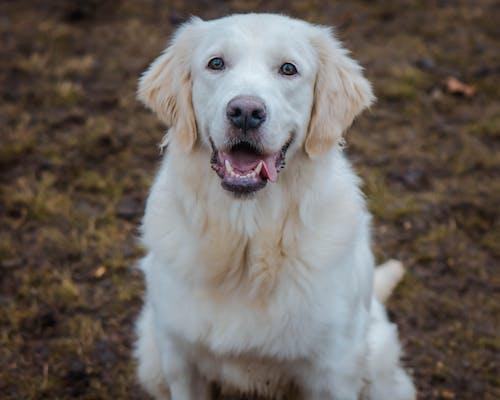 Fotobanka sbezplatnými fotkami na tému pes, portrét zvieraťa, zlatý retriever, zvieracia fotografia