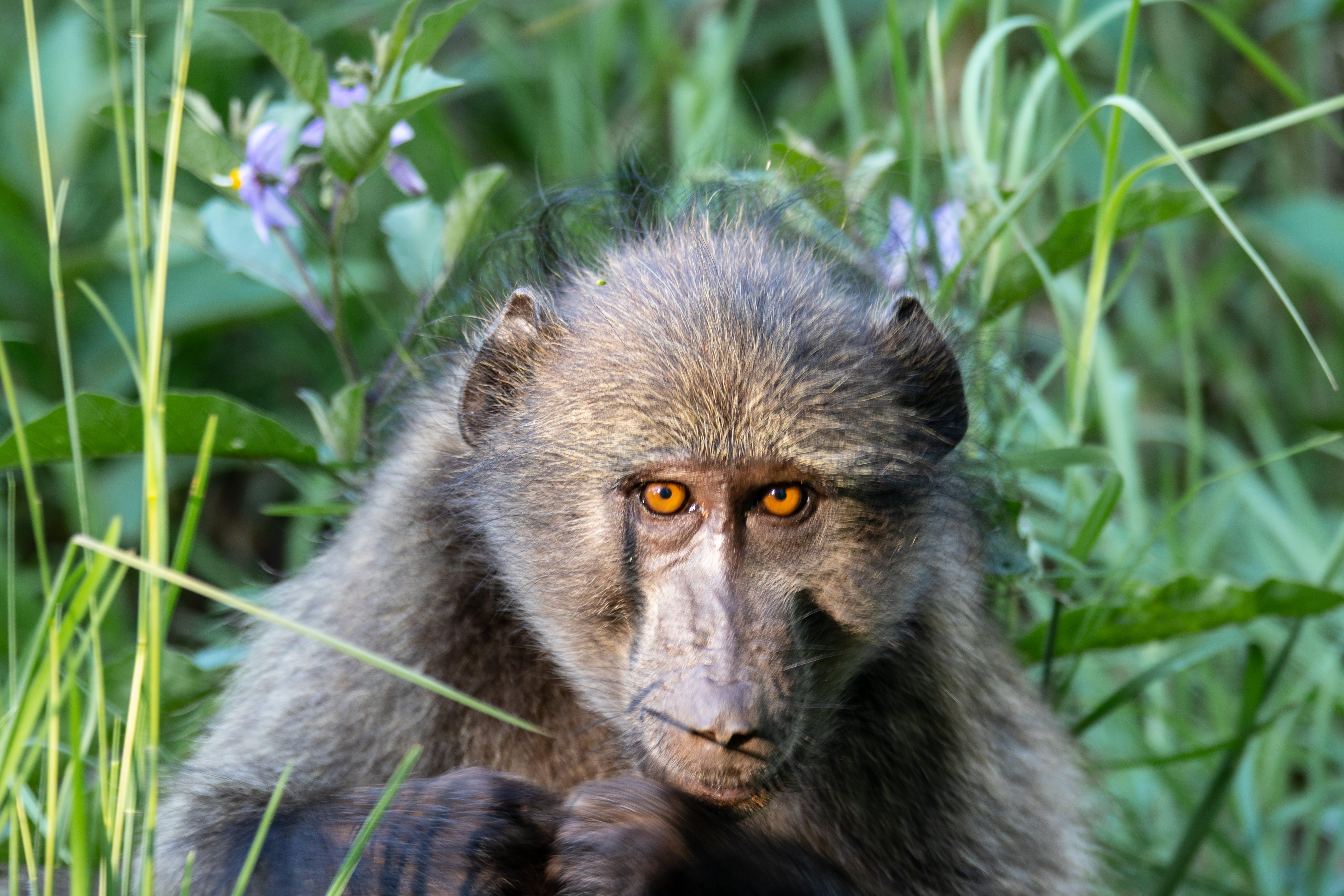 Free stock photo of animals, baboon, dangerous, monkey