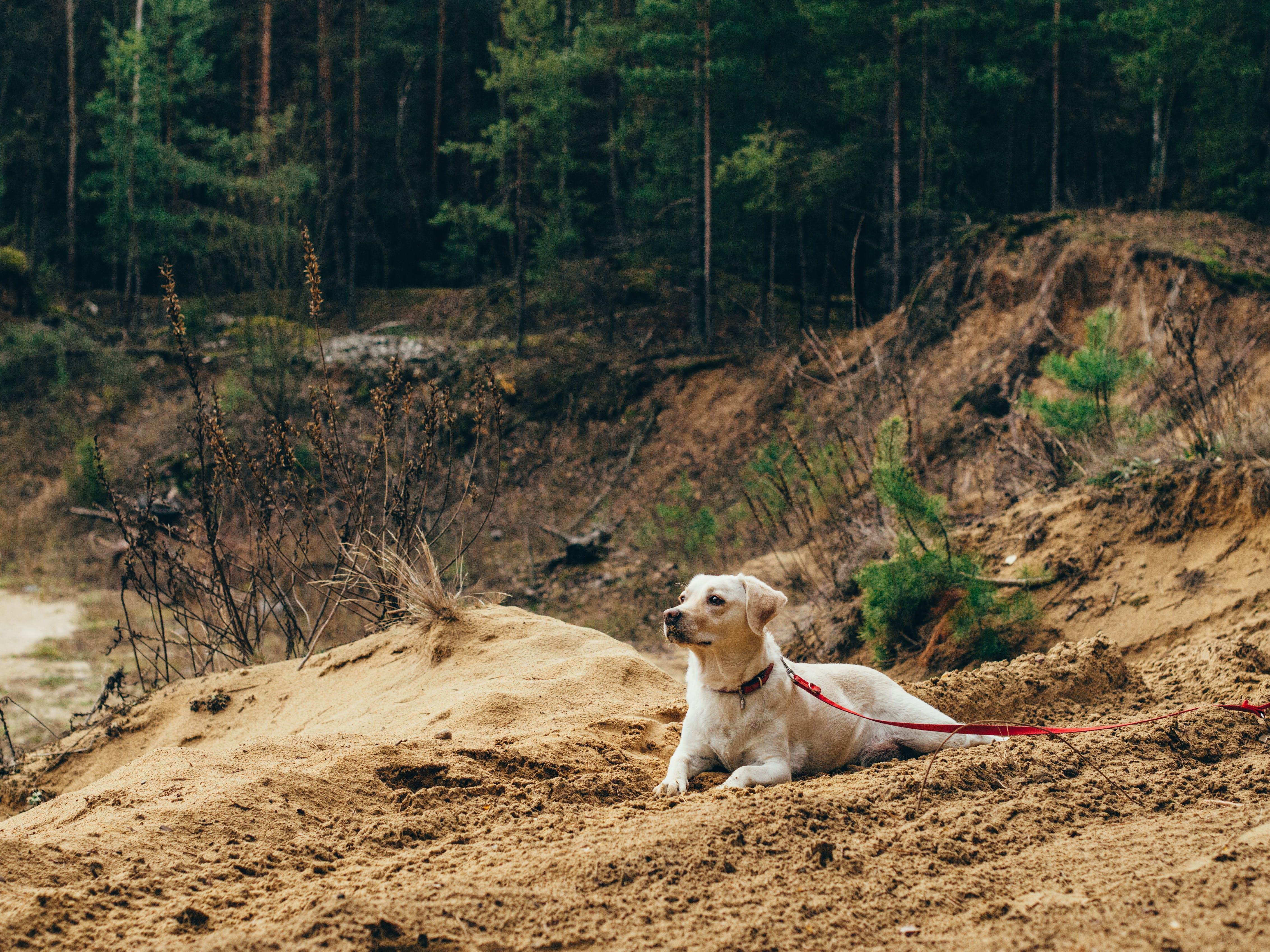 Free stock photo of beach, sand, dog, labrador