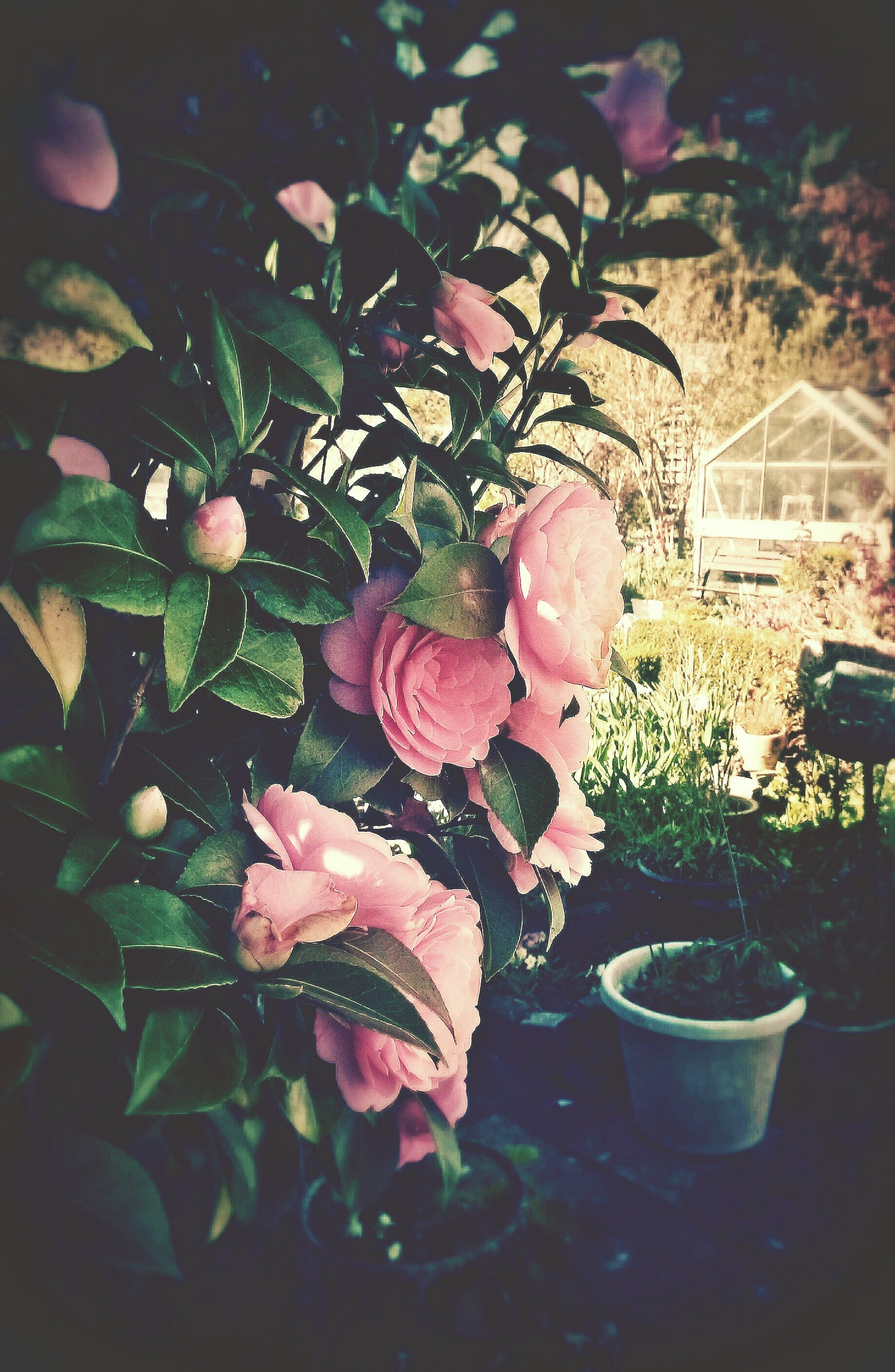 Free stock photo of flowers, garden, nature, pink flowers