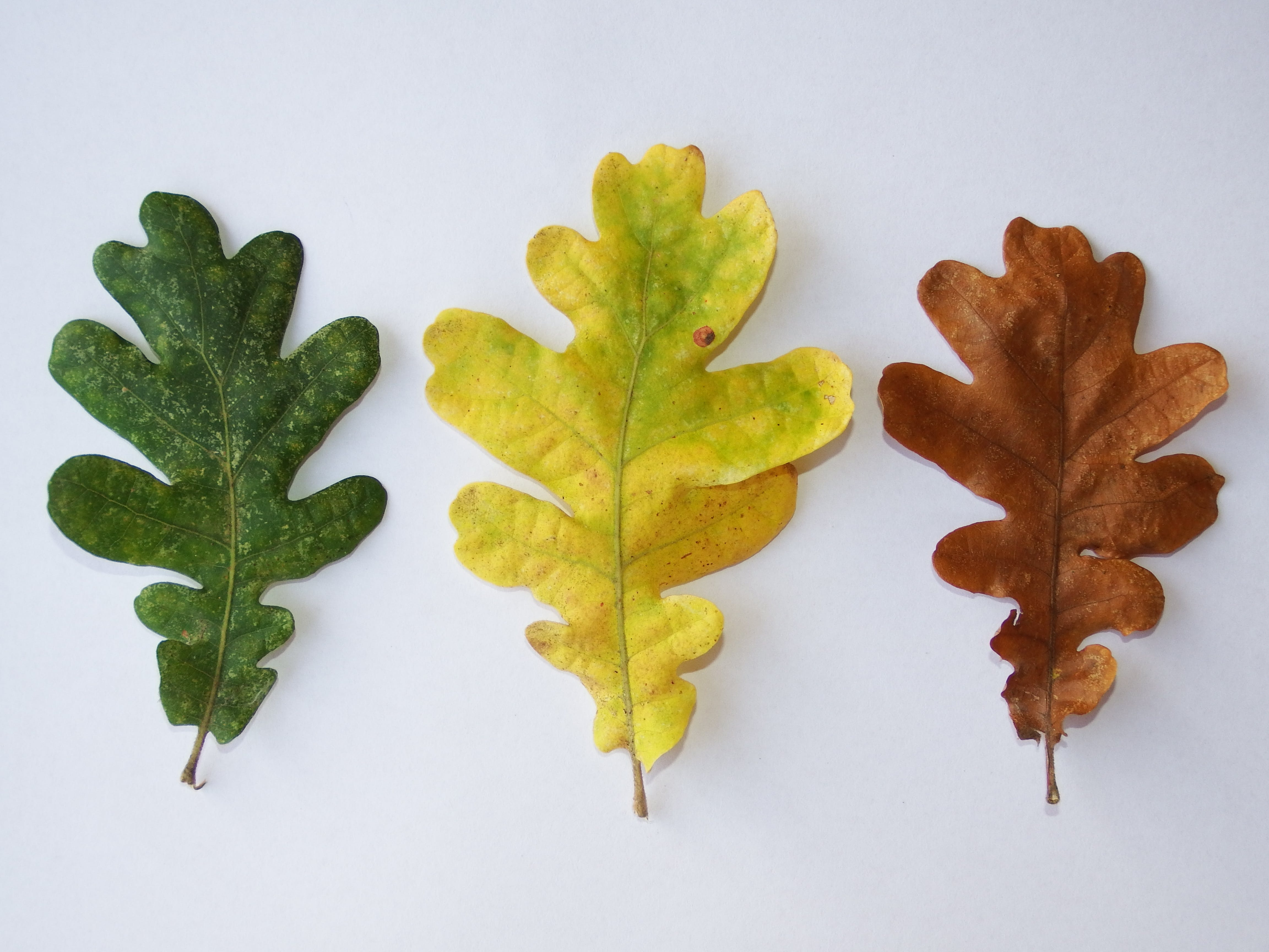 Free stock photo of yellow, leaf, leaves, brown