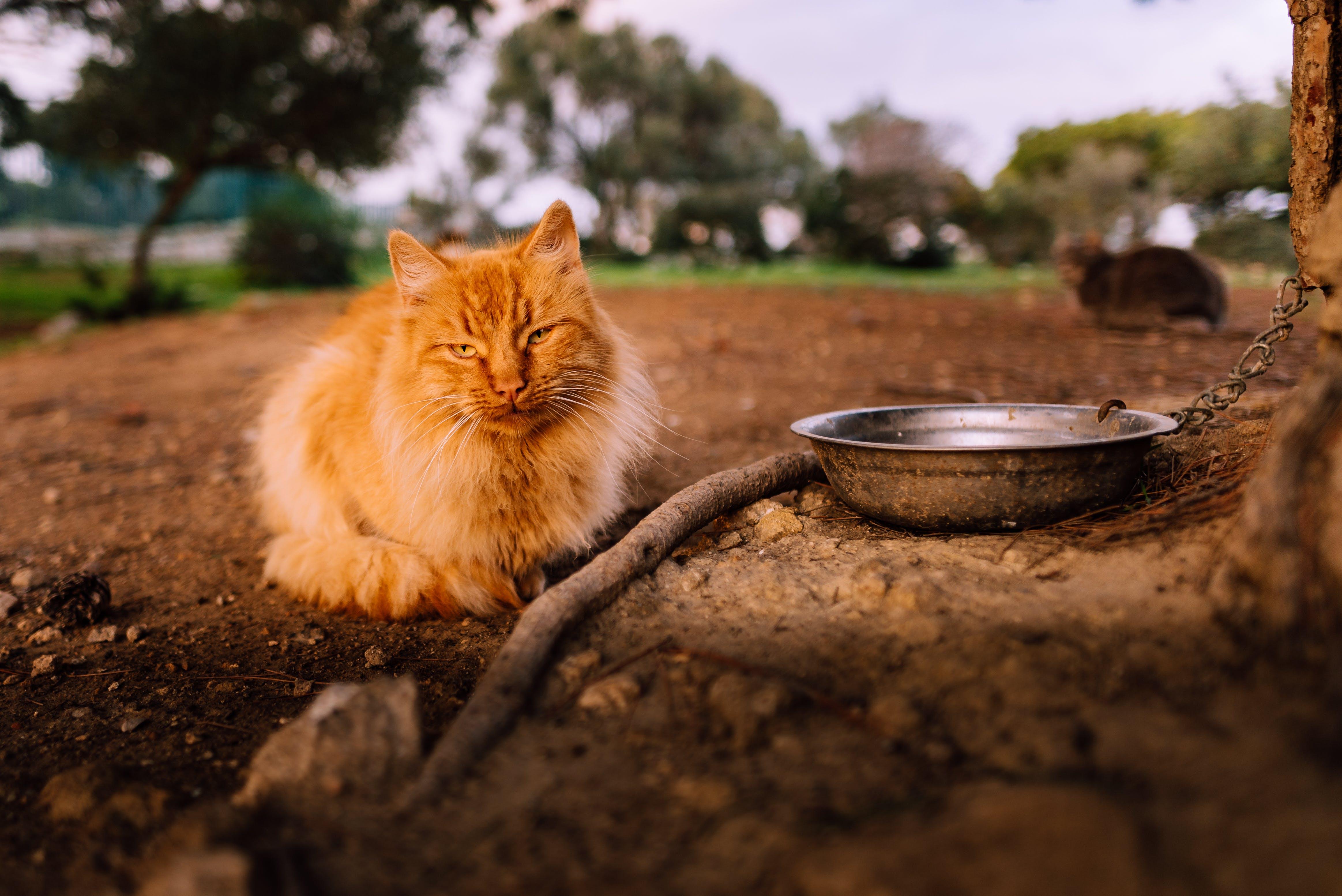 Free stock photo of beautiful, bicolor cat, big cat, cat