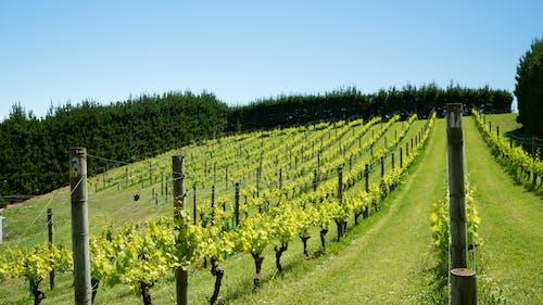 Gratis lagerfoto af vingård, vinranke, vinstok