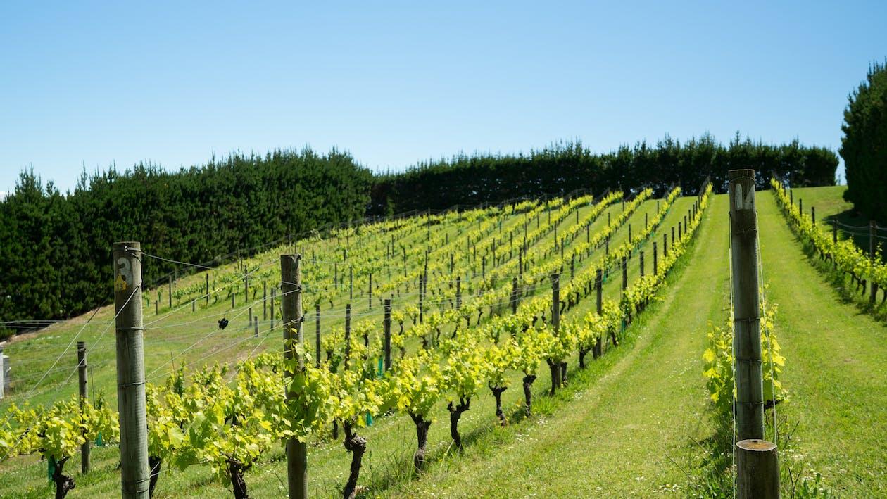 grapevine, vineyard