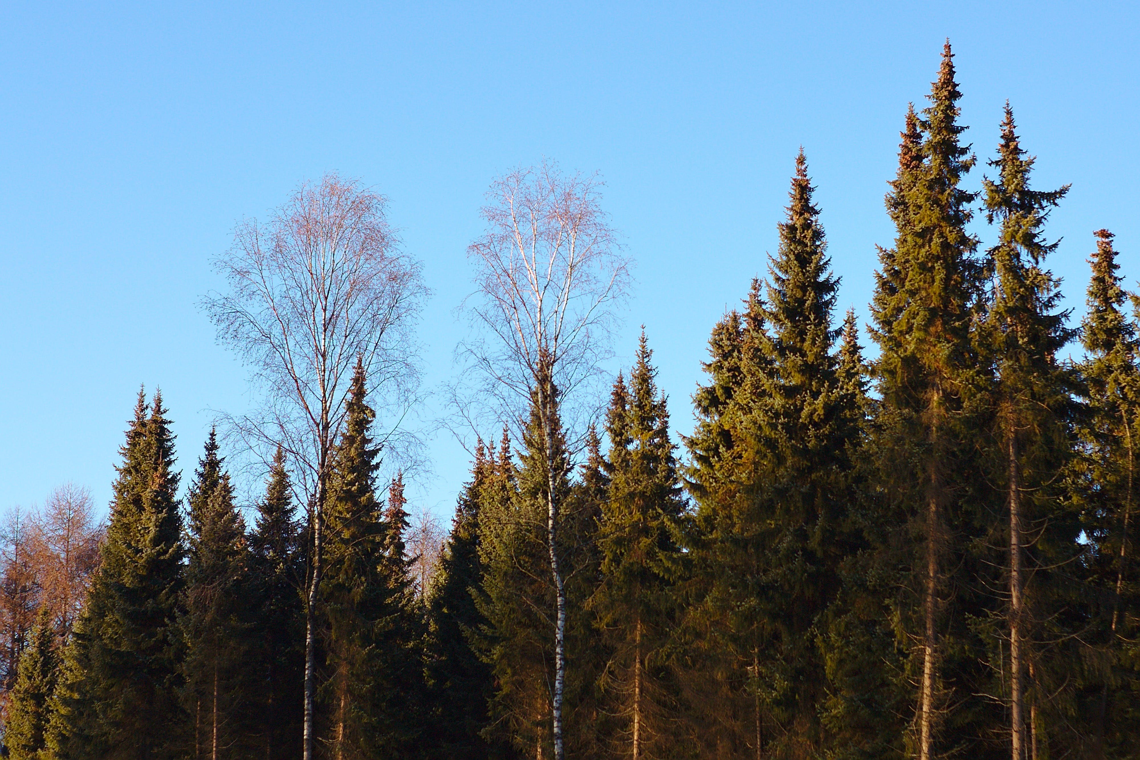 Free stock photo of forest, green, trees, two trees