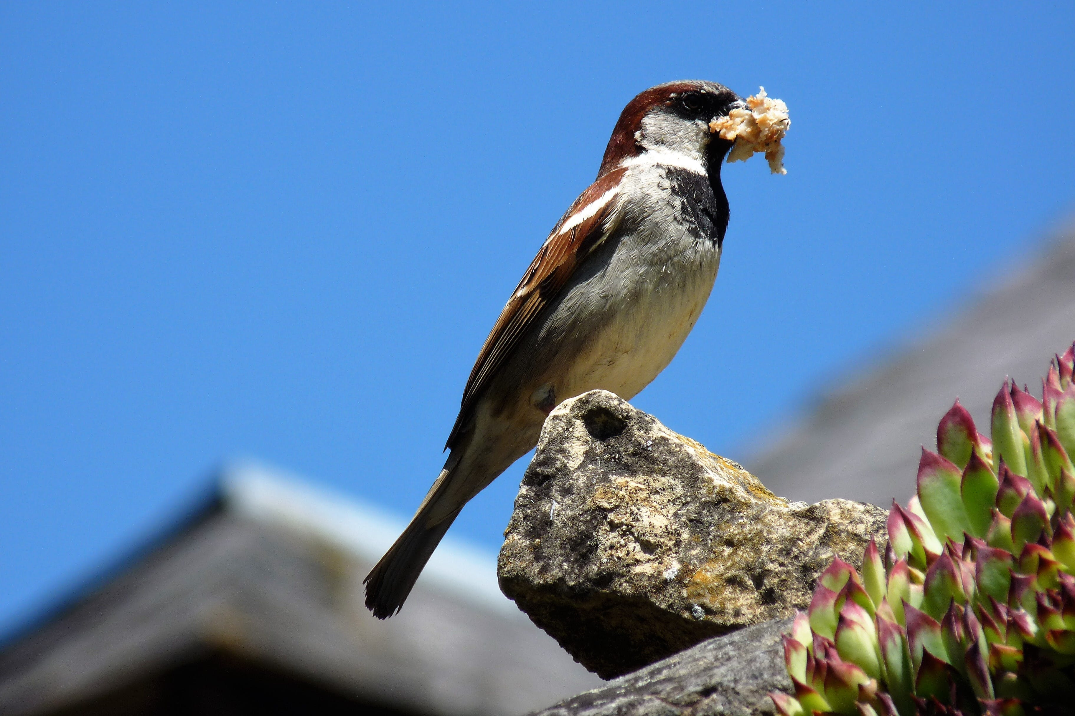 Free stock photo of blue sky, close-up view, macro photography, sparrow eating bread pièce