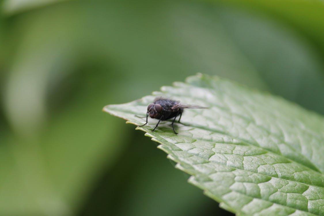Black Fly on Green Leaf