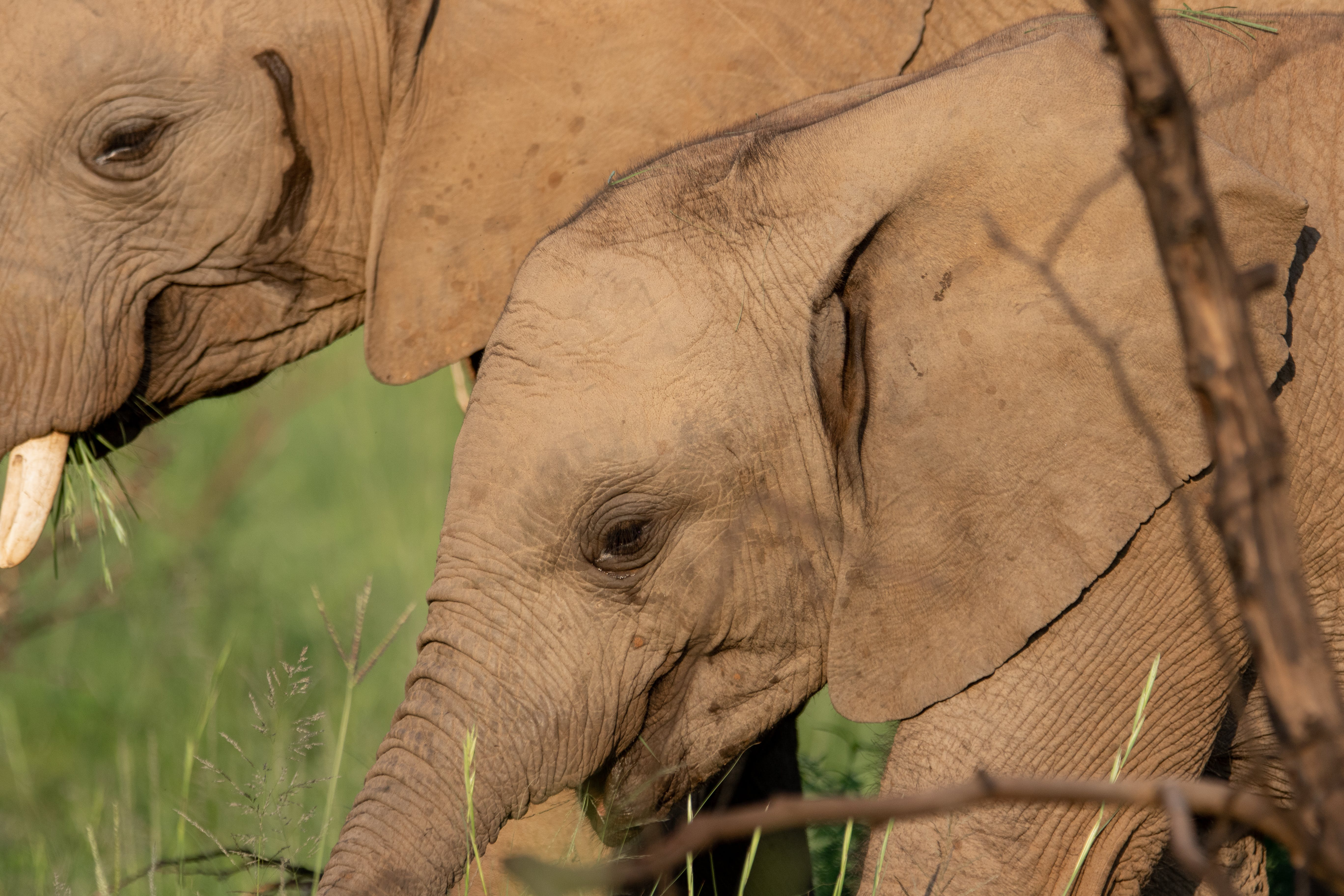 Free stock photo of adventure, africa, african elephant, baby
