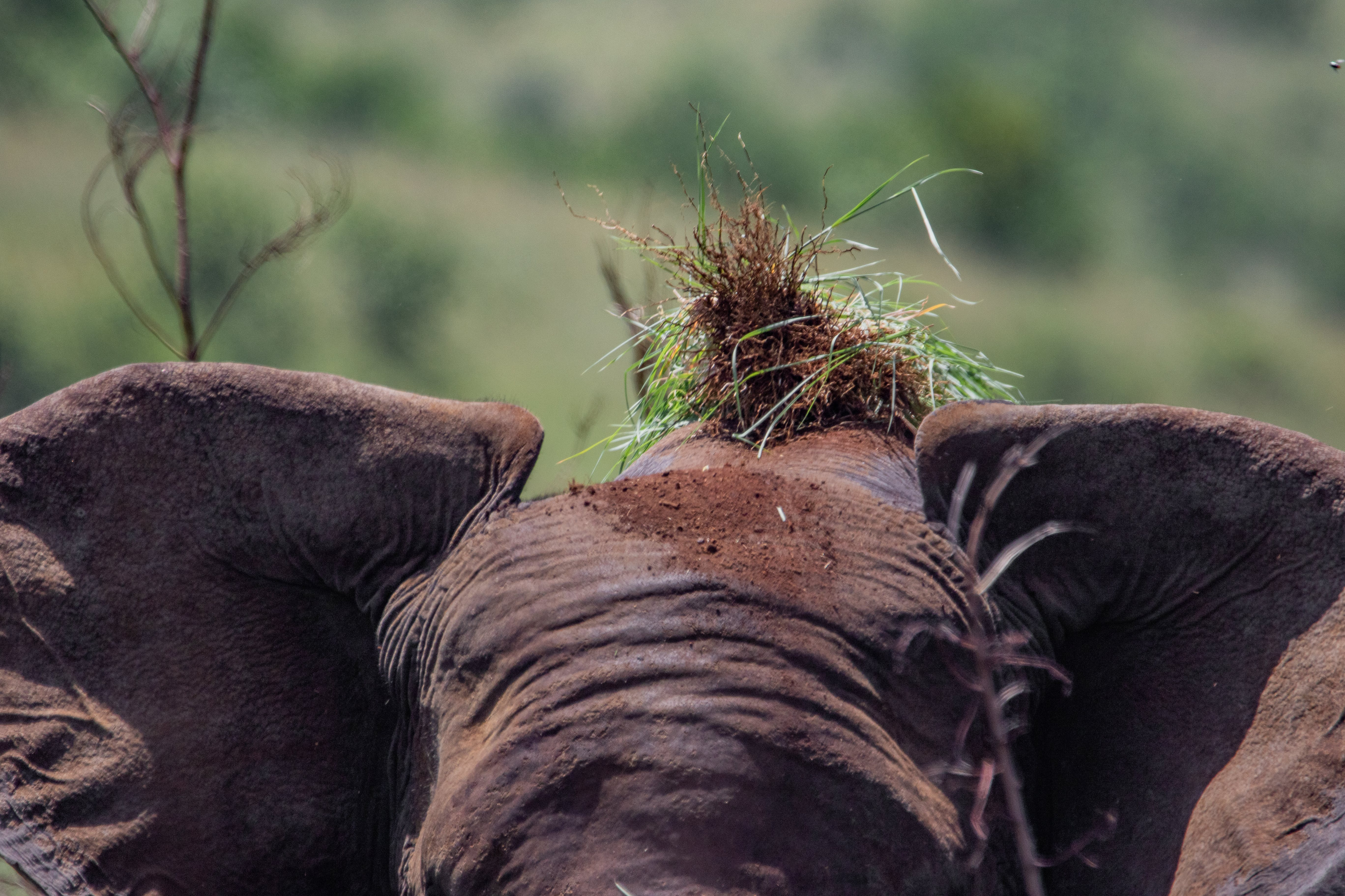 Free stock photo of adventure, africa, african elephant, beauty in nature
