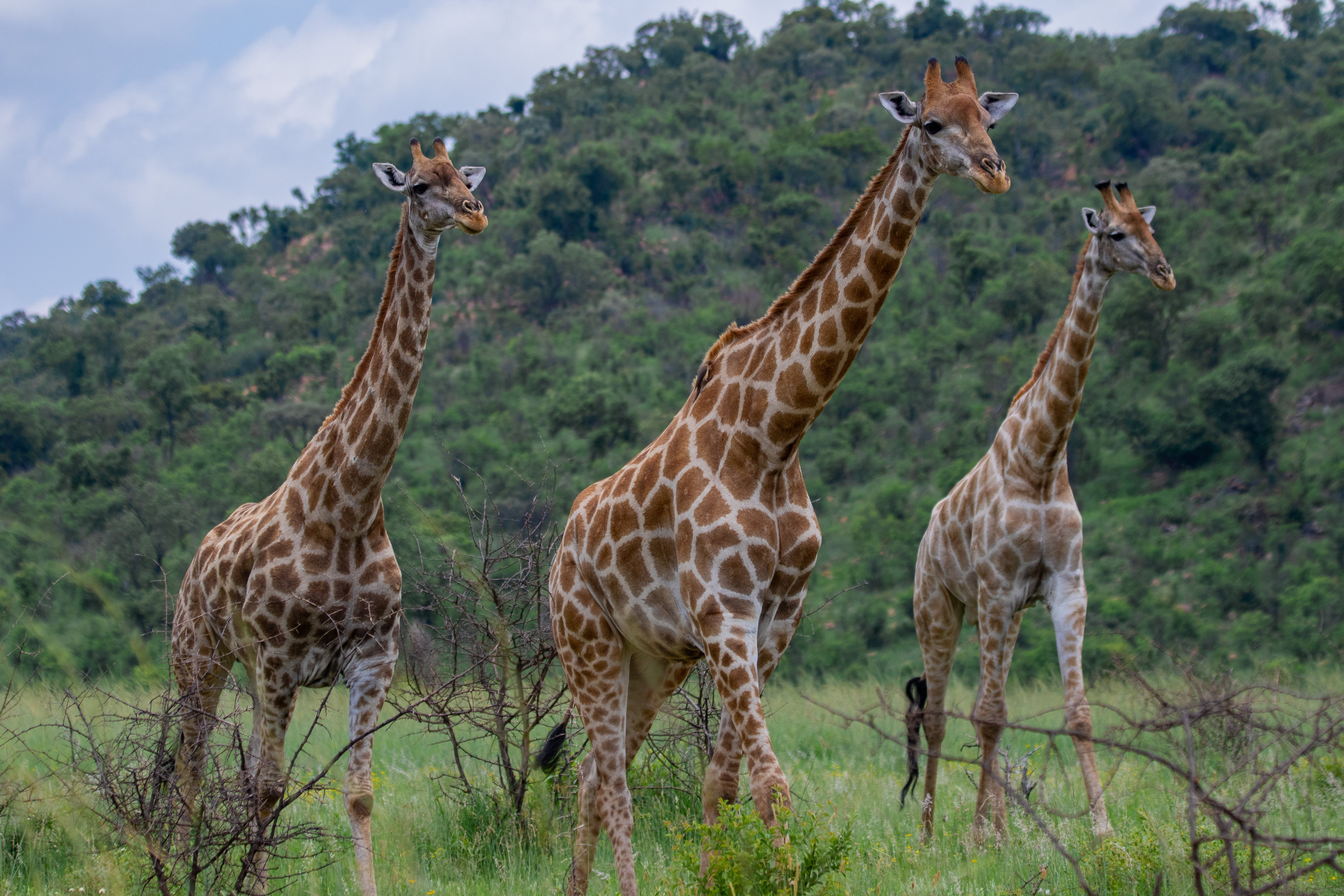 Free stock photo of beauty in nature, family, giraffe, long neck