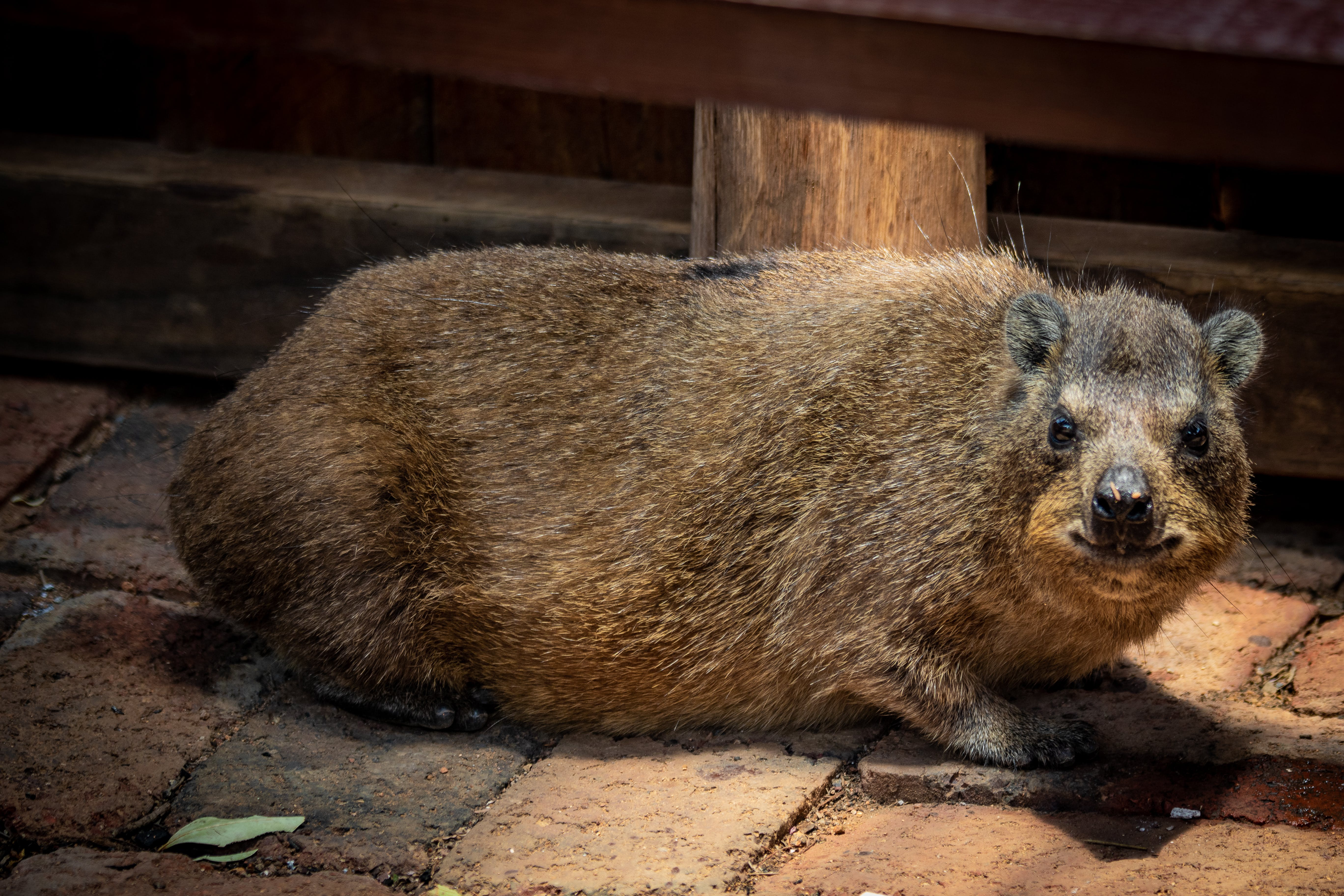Free stock photo of animals, cute, Dassie, landscape