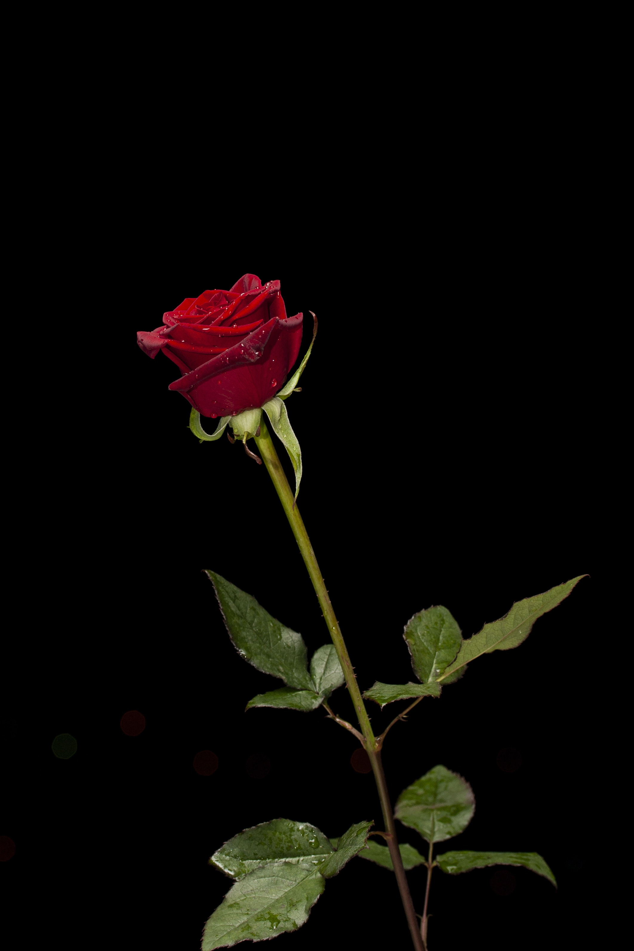 Red Rose Wallpapers on