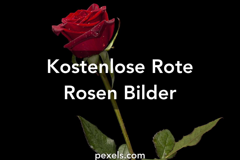 1000 Rote Rosen Fotos Pexels Kostenlose Stock Fotos