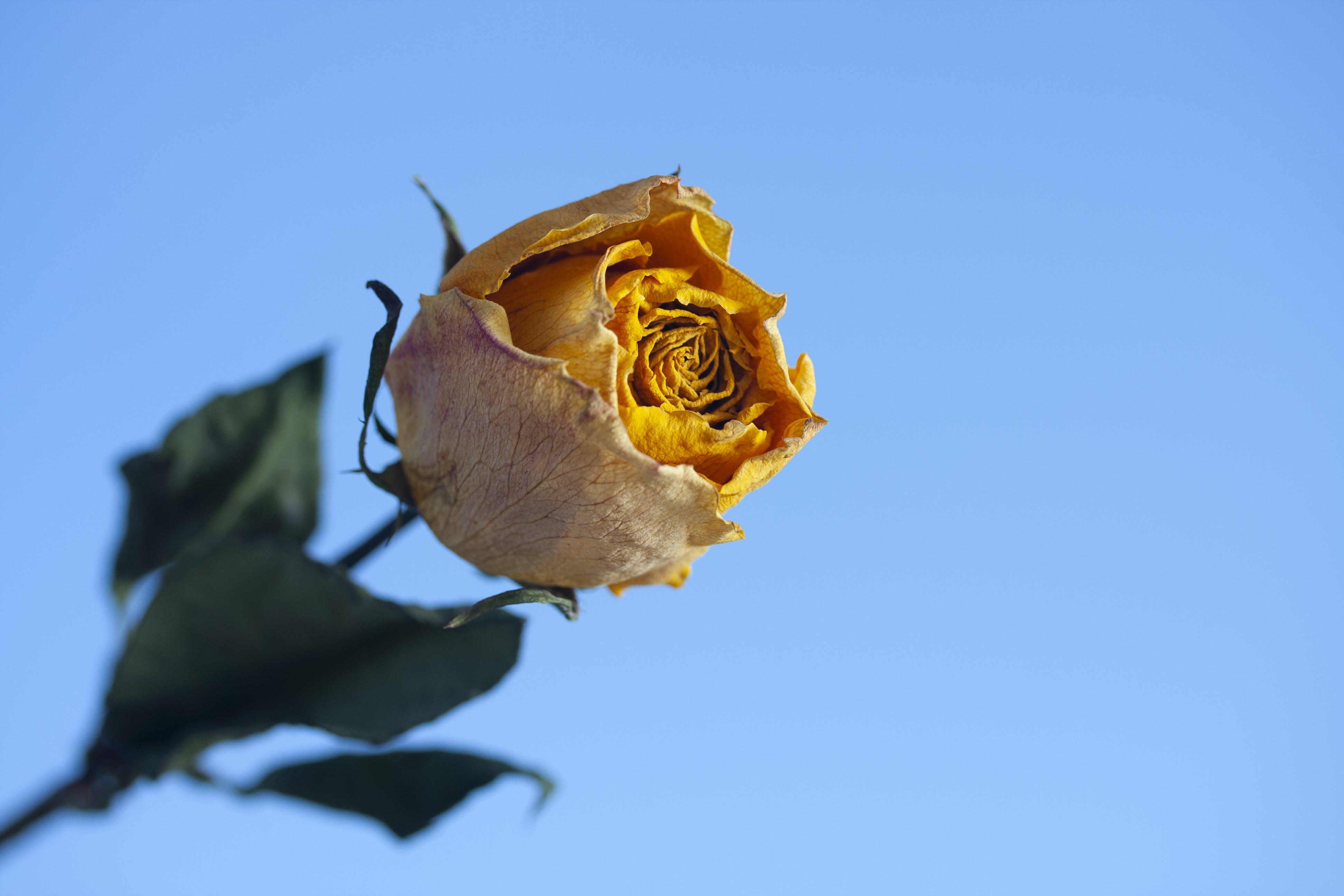Close-Up Photo of Rose