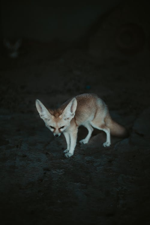 Photo of Fennec Fox