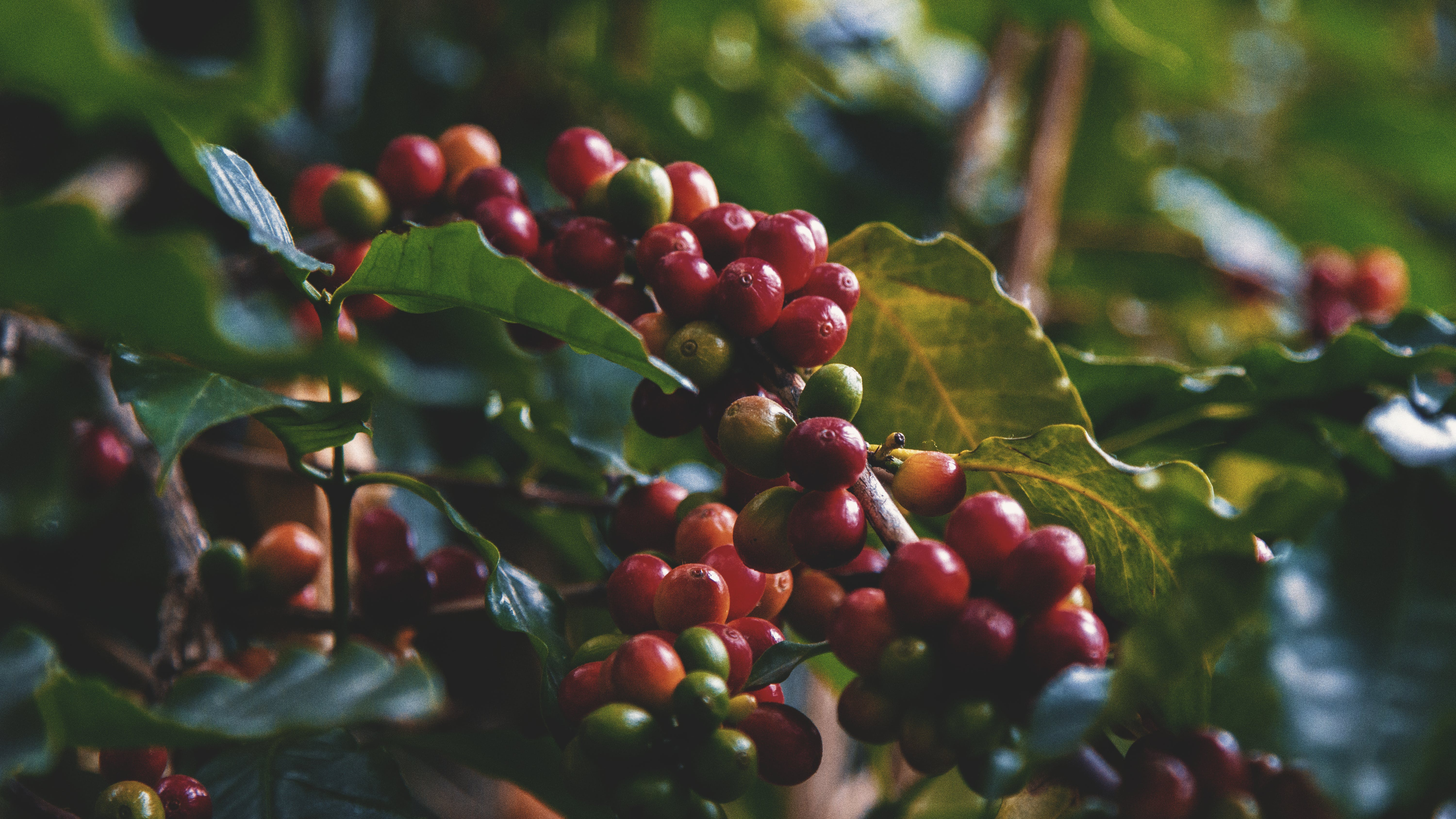 Free stock photo of coffee beans, plant