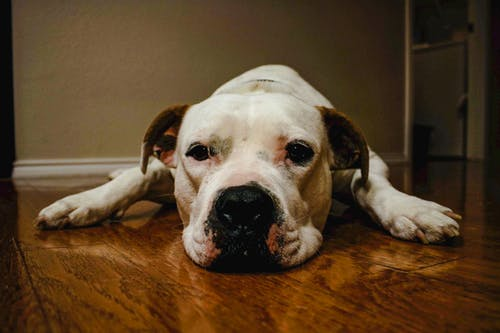 Free stock photo of dog, pitbull