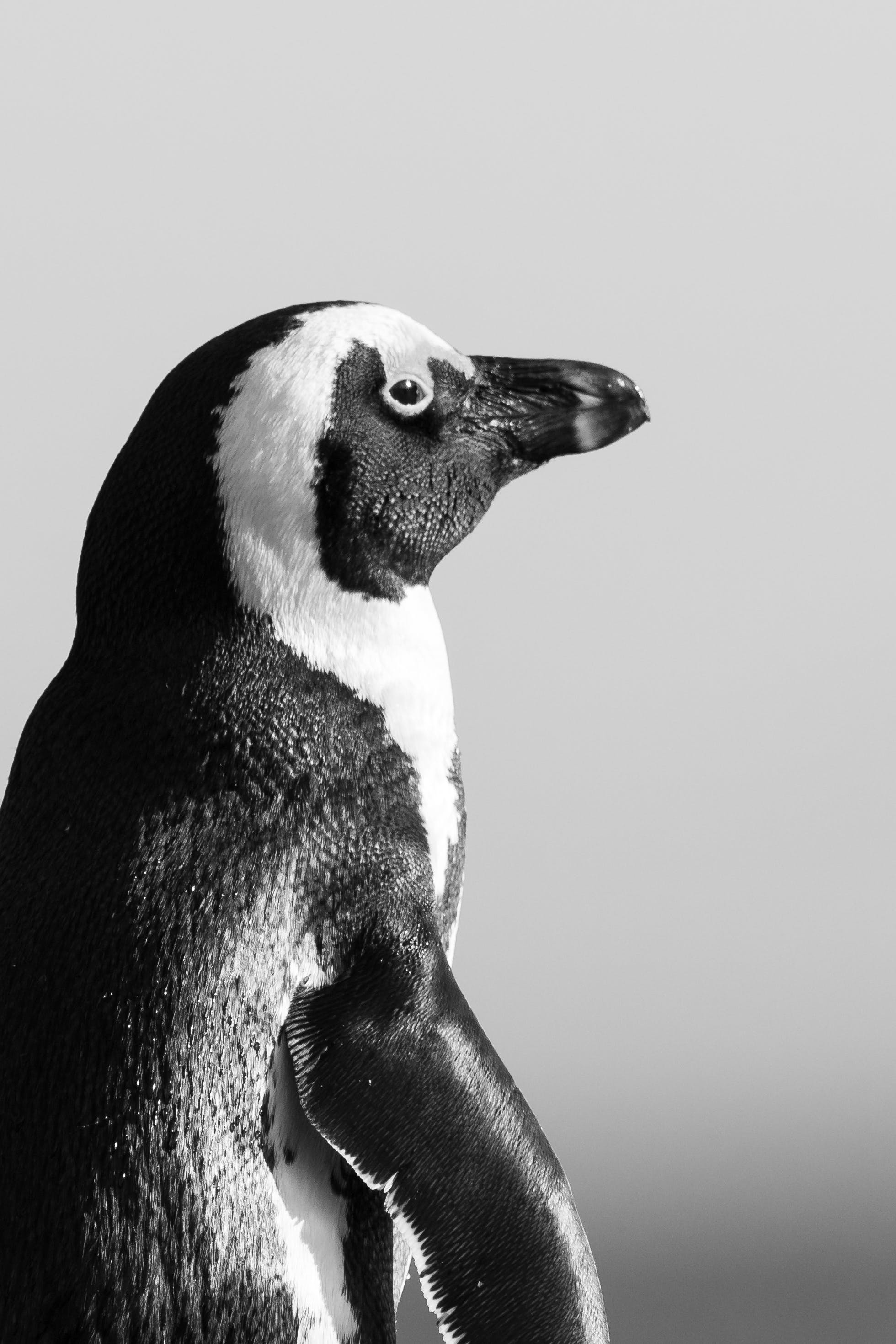 Black And White Photo Of Penguin