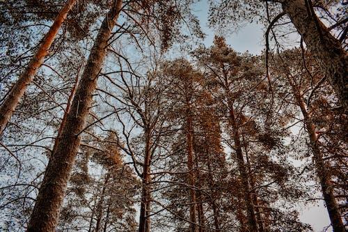 Ingyenes stockfotó alacsony szögű felvétel, erdő, fák, perspektíva témában