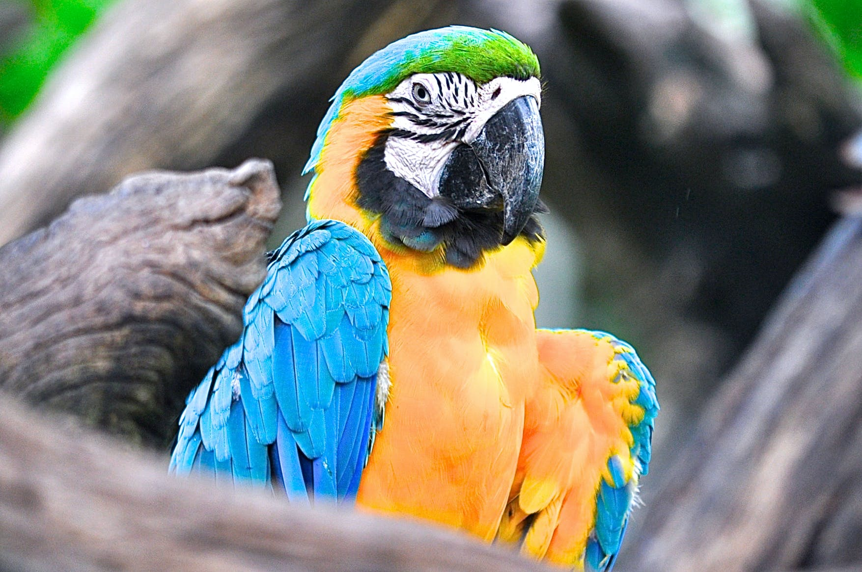 Selective Focus Photography of Yellow and Blue Macaw