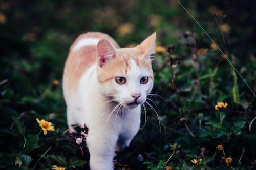 Ingyenes stockfotó házi macska, macskák témában