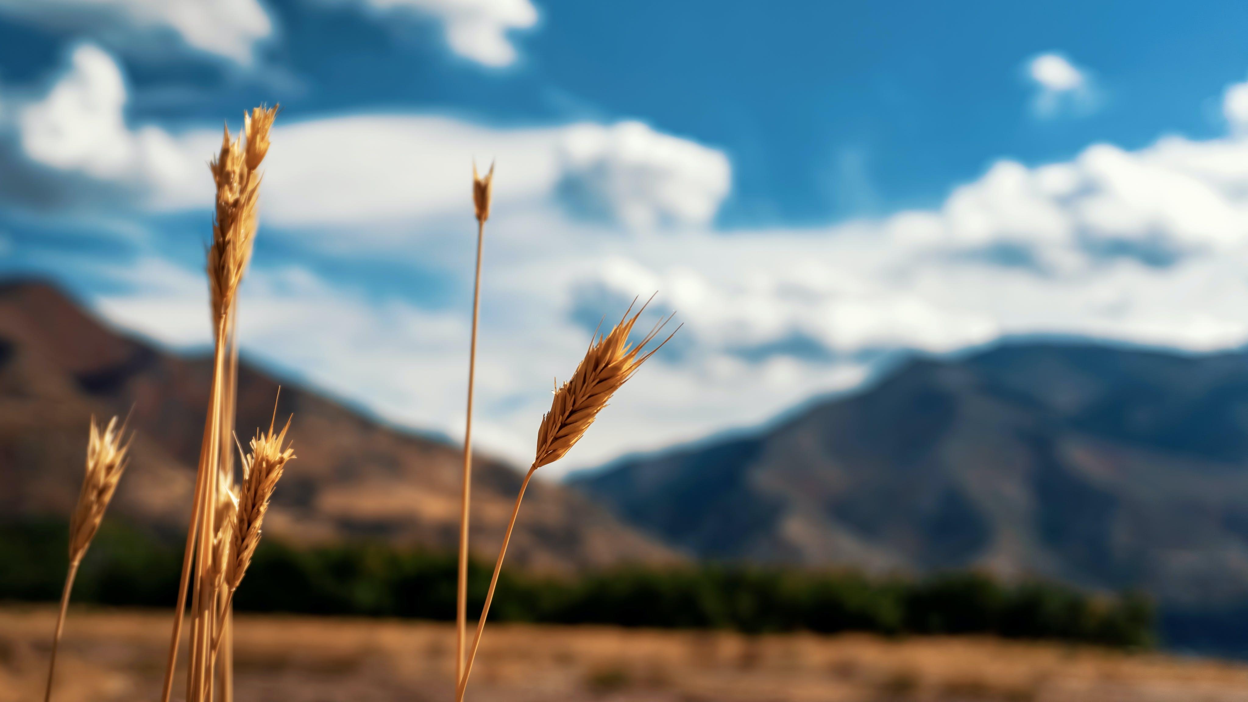 Foto d'estoc gratuïta de camp, cel, grans, herba