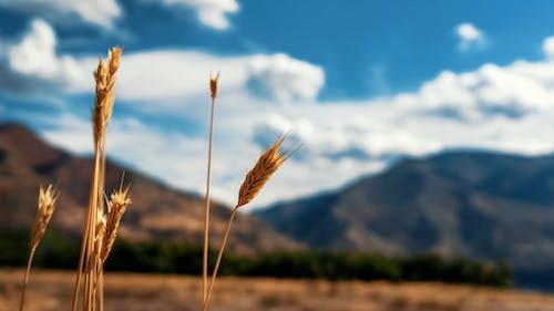フィールド, 山岳, 植物, 穀類の無料の写真素材