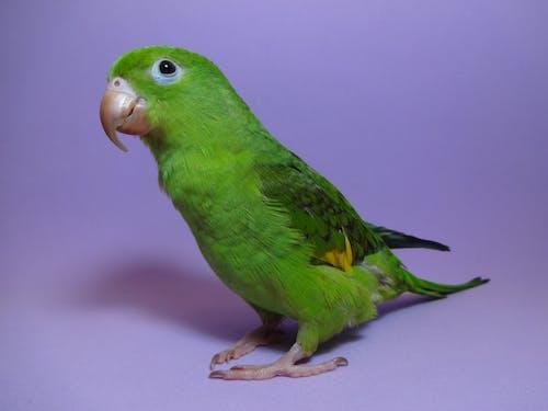 Ảnh lưu trữ miễn phí về chim bồ câu, chim xanh, con vẹt, màu xanh lá