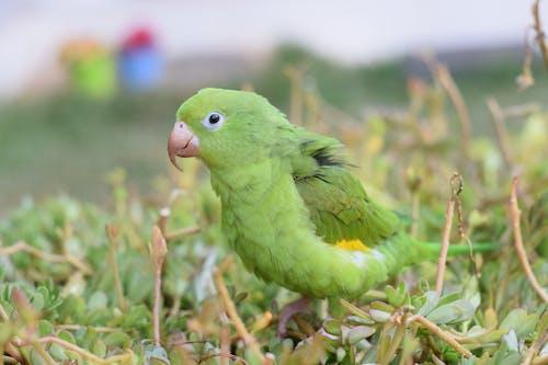 Ảnh lưu trữ miễn phí về chim bồ câu, chim xanh, cỏ, con vẹt