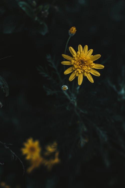 adâncime de câmp, boboci de flori, cosmos