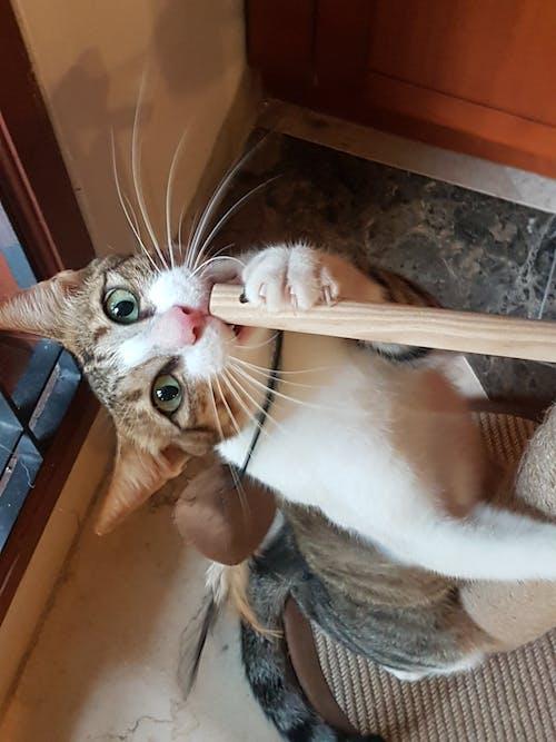 #indonesia #cat 的 免費圖庫相片