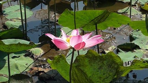 #indonesia #flower #lily 的 免費圖庫相片