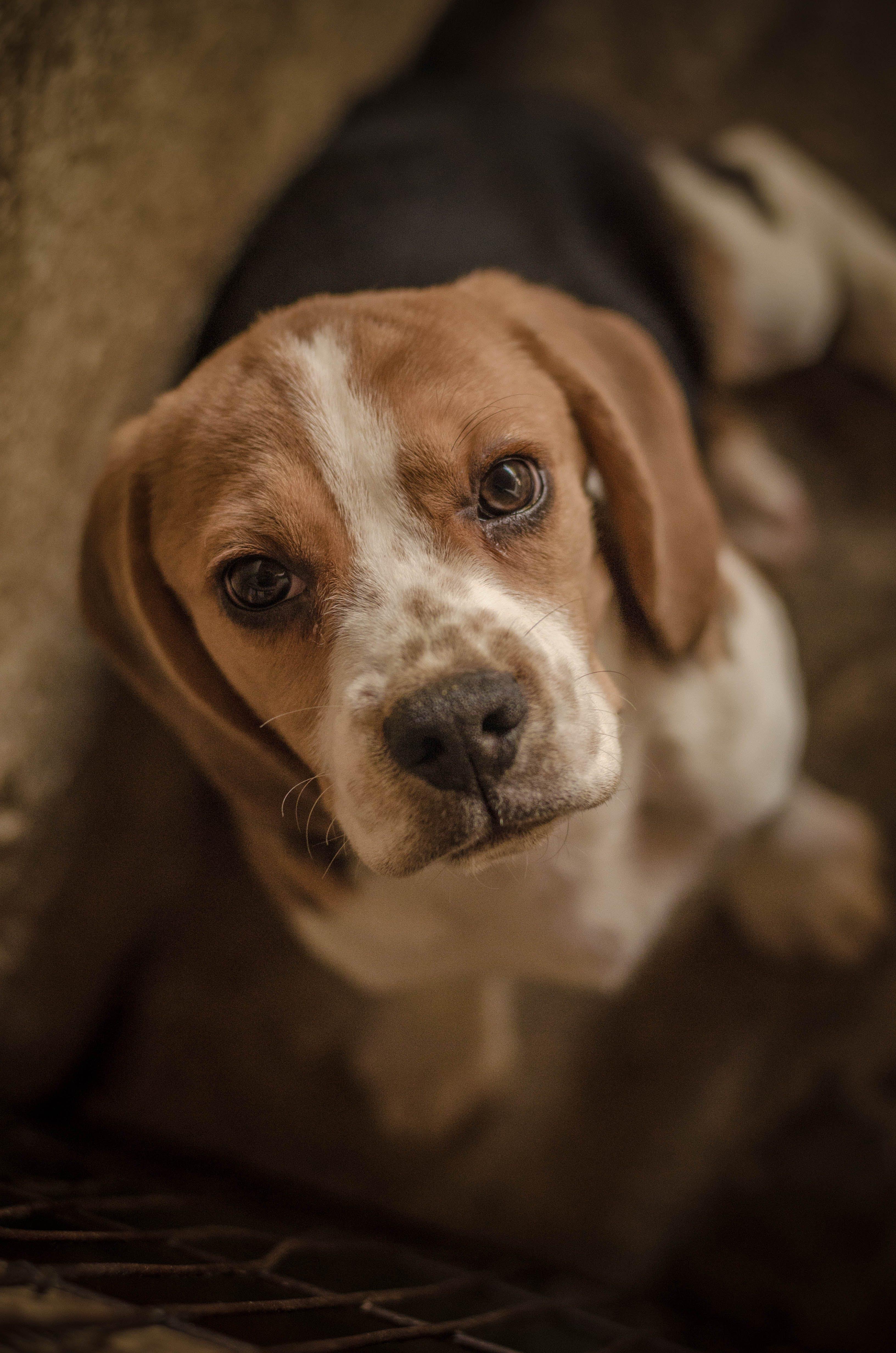 Free stock photo of animal, beagle, cute, dog