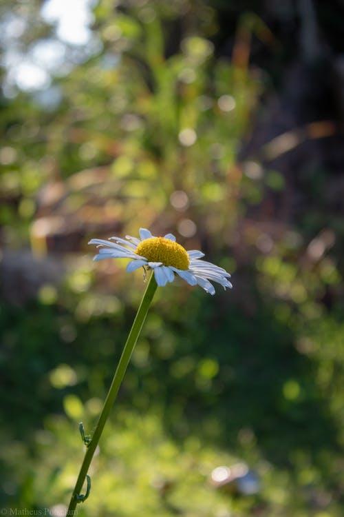 natureza 사진, 꽃, 마가리다 브랑 카, 마르가 리다의 무료 스톡 사진
