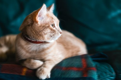 Orange Tabby Cat With Red Collar on Green Sofa