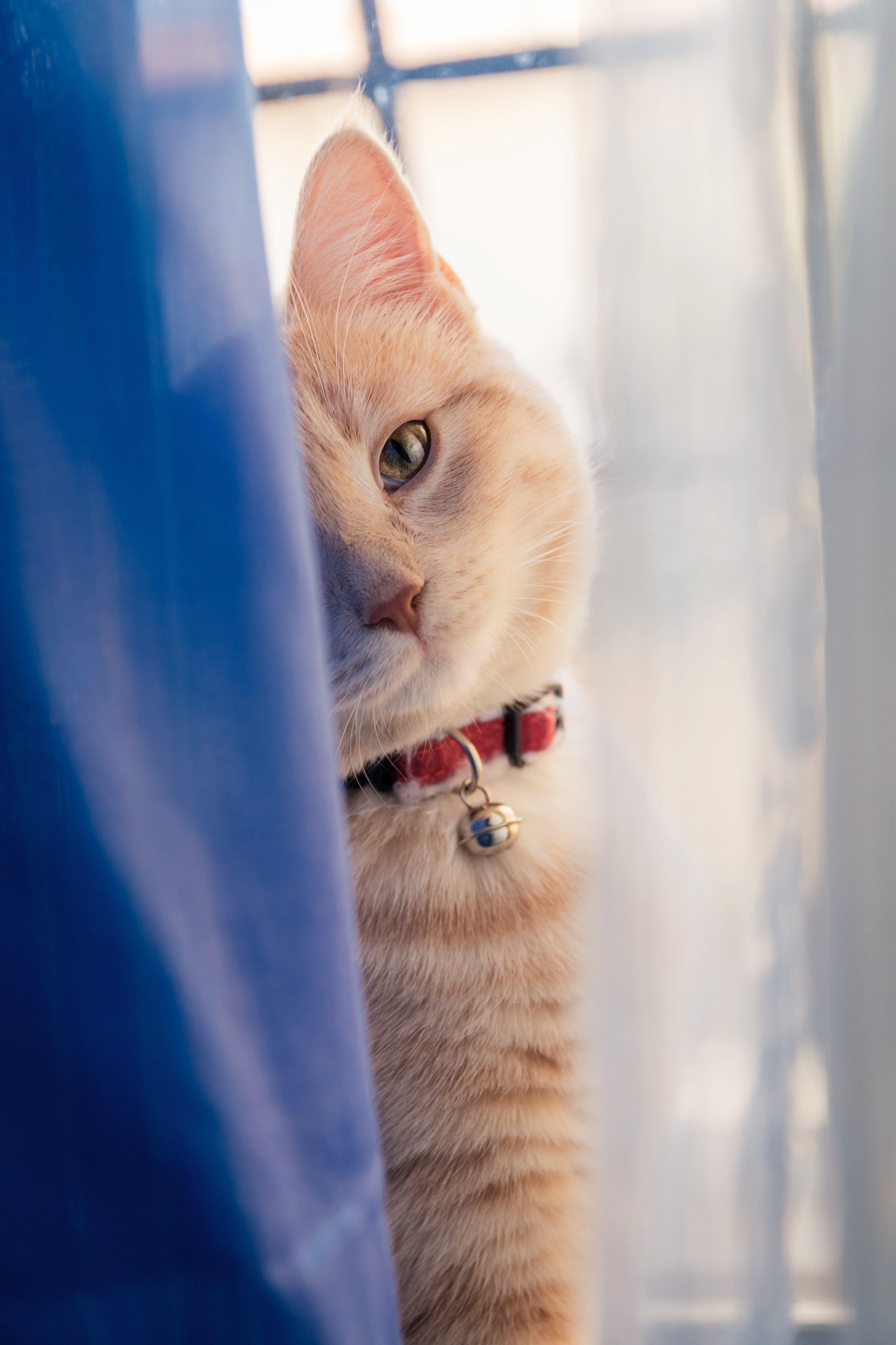 Orange Tabby Cat on Back of Window Curtain
