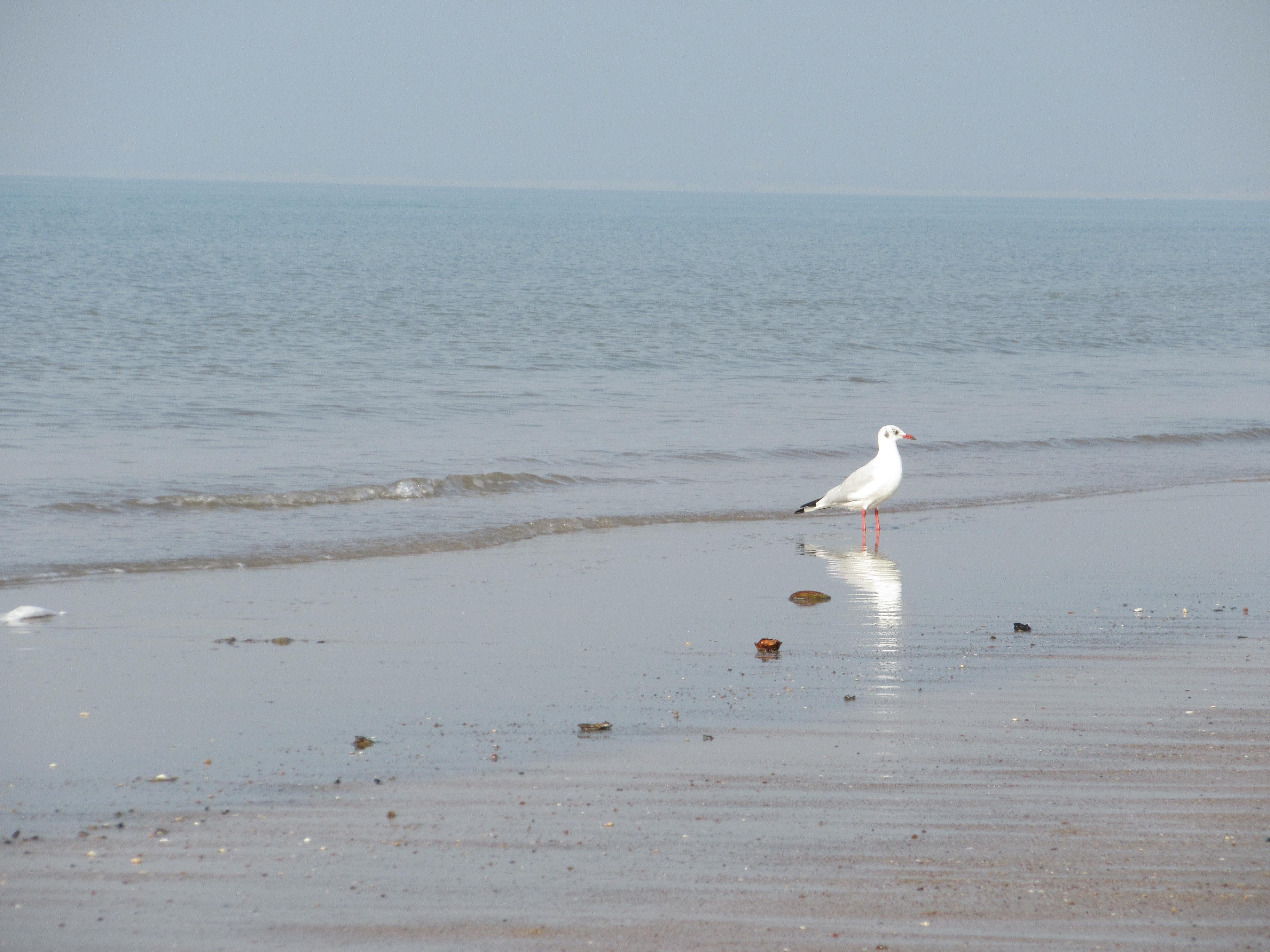 Free stock photo of bird, sea beach, seagull