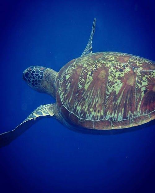 #indonesia #scuba #diving #sea turtle #ocean 的 免費圖庫相片