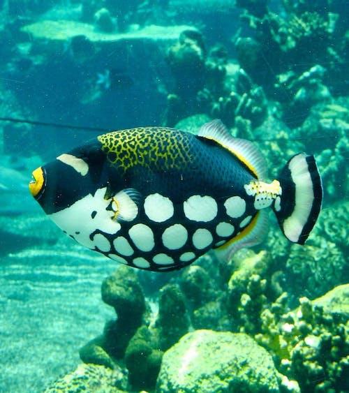 #indonesia #trigger fish #ocean #diving #scuba 的 免費圖庫相片