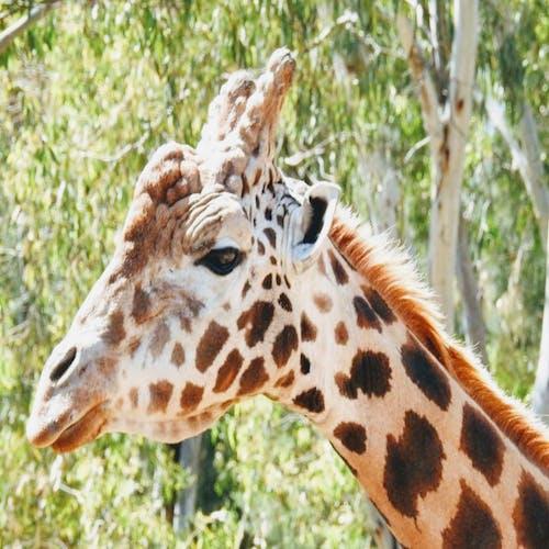 Foto d'estoc gratuïta de #indonesia #giraffe #safari #zoo